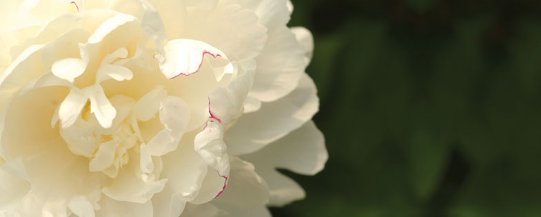 close up of a white peony
