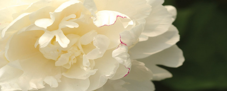white and pink peony bloom